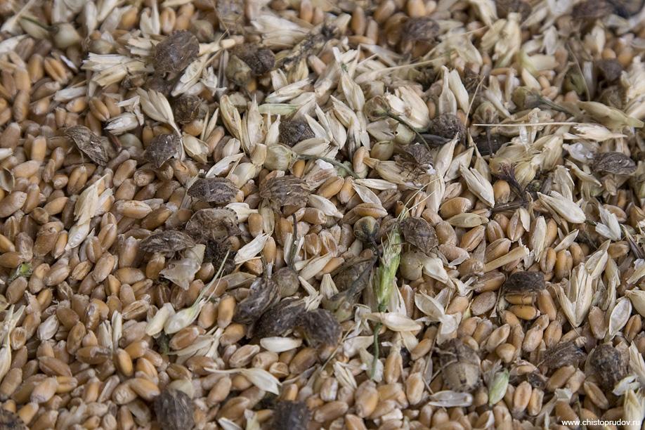 Пшеница: выбор и хранение